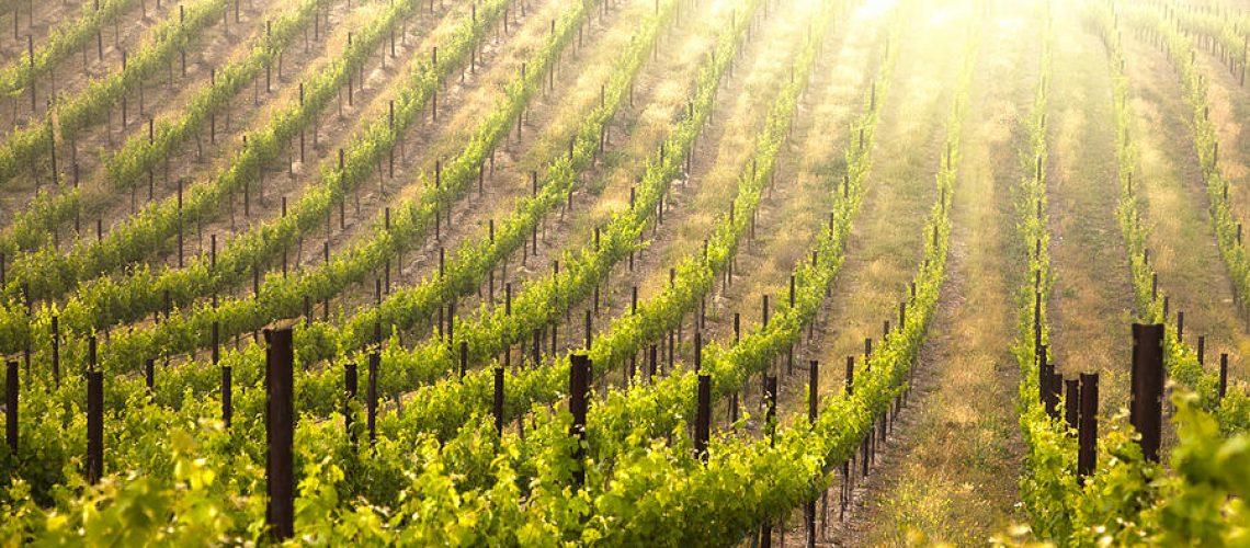 5-beautiful-lush-grape-vineyard-andy-dean